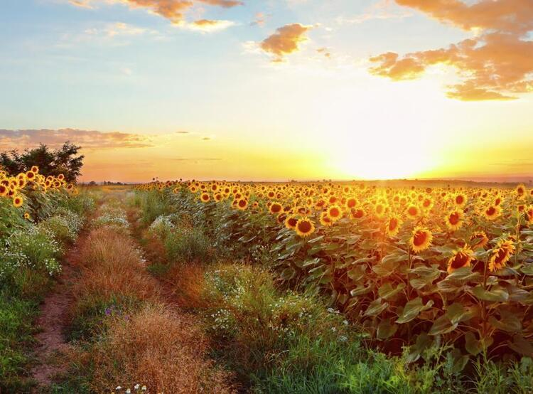 sunset over field of sunflowers
